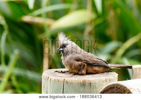 Mousebird Sitting On A Log