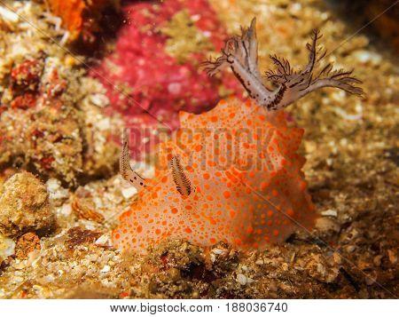 Halgerda Batangas Nudibranch, Sea Slug