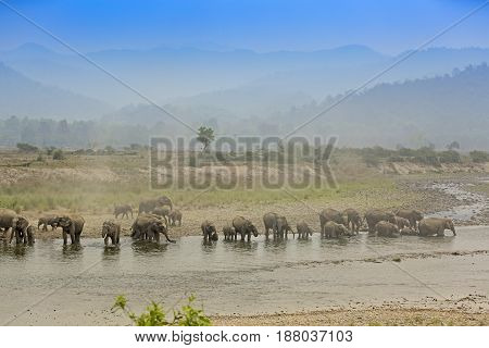 Asiatic Elephants quenching thirst from the river with the hills at  background