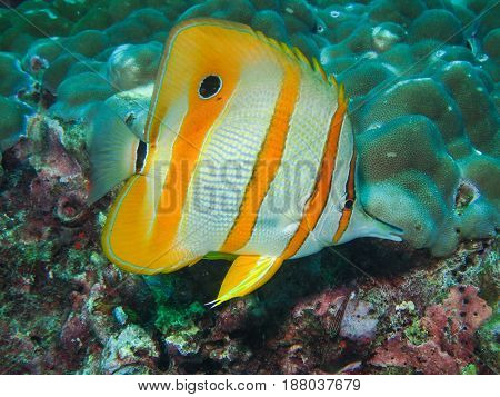 Copperbanded Butterflyfish In The Coral Reef
