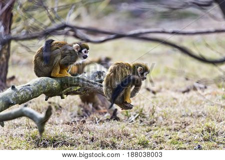 Common squirrel monkeys sitting on a tree branch