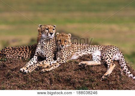 The family of cheetahs. Savanna of Serengeti, Africa