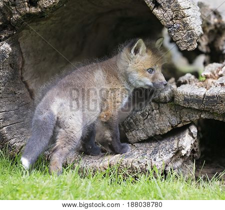 Red fox kit in hollowed log.  Springtime in Wisconsin