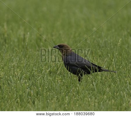 A Brown-Headed Cowbird (Molothrus ater) foragin for food on a lawn in Carroll County Maryland.