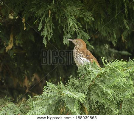 A Hermit Thrush (Catharus guttatus) perched on a branch of a cedar tree with a green background, in Carroll County Maryland, USA.