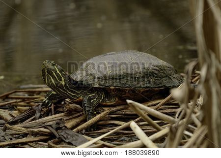 A Red-Eared Slider (Trachemys scripta elegans), a semi-aquatic turtle, sits atop reeds alongside a pond in Carroll County Maryland, USA.