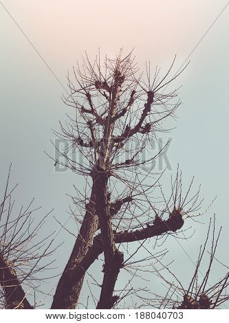 Silhouette for abstract image, Leafless branches of pine tree against sky