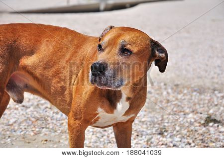 red American pit bull terrier looking away