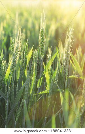 Green wheat - unripe wheat (wheat field) lit by sunlight