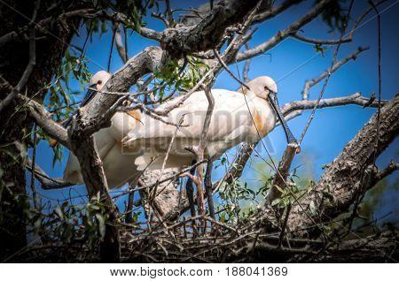 Danube Delta in Tulcea county, Romania. Family of spoonbill birds in their nest.