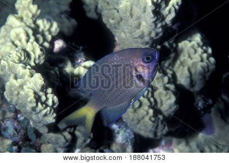 An Agile Chromis (Chromis agilis) a damselfish on a coral reef at the Kwajalein Atoll in the Pacific