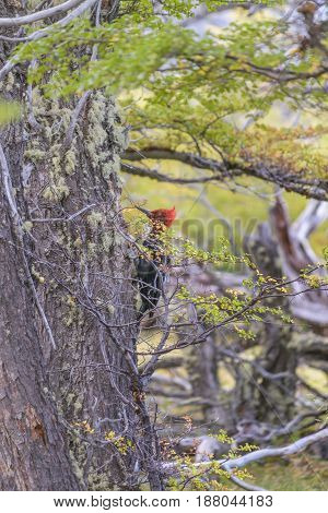 Redhead woodpecker pecking a tree at patagonia forest Argentina