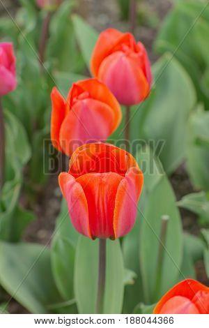 Orange tulips in a spring garden closeup
