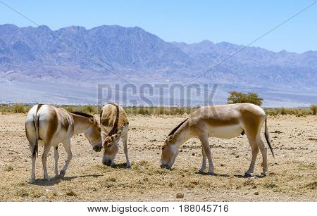 Onager is a brown Asian wild donkey (Equus hemionus) inhabits nature reserve park near Eilat, Israel