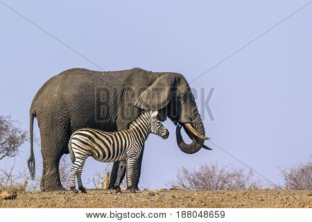 Plains zebra and african bush elephant in Kruger national park, South Africa ; Specie Equus quagga burchellii and Loxodonta africana