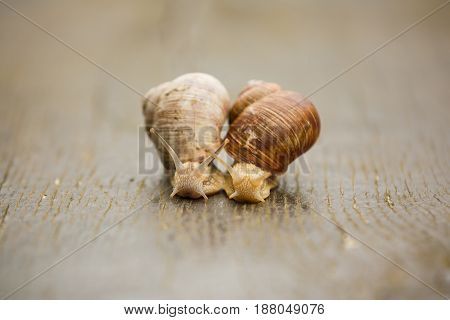 Couple of Burgundy snail is creeping on the wooden surface