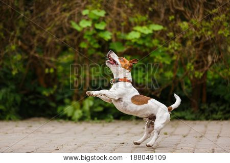 The puppy Jack Russell terrier is jumping outdoors