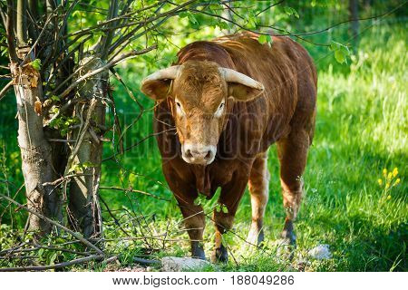The bull of a Limousin breed near a bush in summer