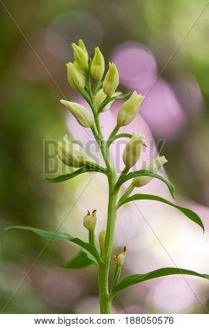 White helleborine (Cephalanthera damasonium) flowers. Autogamous flowers of orchid (Orchidaceae) growing in beech woodland near Westbury Wiltshire UK