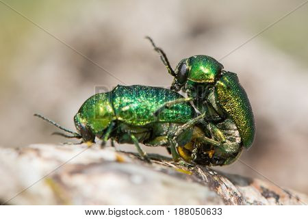 Cryptocephalus aureolus beetles in cop. Pair of metallic green beetles in cop in the family Chrysomelidae the leaf beetles
