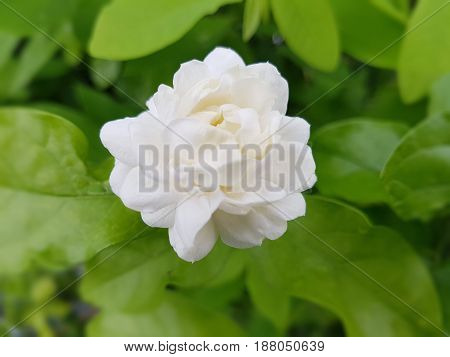 doubled flower jasmine - Jasminum Sambac bud