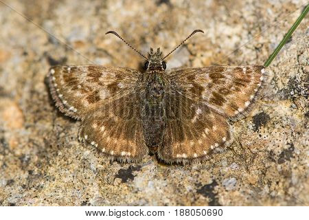 Dingy skipper butterfly (Erynnis tages) freshly emerged. A butterfly in the family Hesperiidae at rest on stone