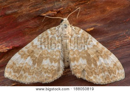 Sandy carpet (Perizoma flavofasciata) moth. Sandy coloured insect in the family Geometridae at rest on bark