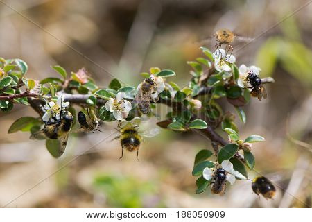 Composite of British bees and mimics. Hoverfly (Volucella bombylans) honey bee (Apis melifera) early bumblebee (Bombus pratorum) bee fly (Bombylius major) and two-coloured mason bee (Osmia bicolor)