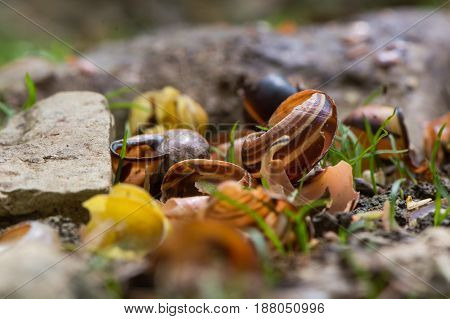 Snail shells broken by song thrush (Turdus philomelus). Pile of broken shells by stones used to smash prey of bird in the family Turdidae