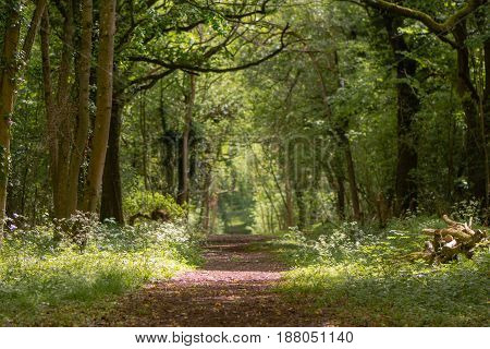 Path through British ancient woodland with dappled sunlight. Flowers line ride in springtime in Lower Woods Gloucestershire UK