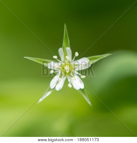 Bog stitchwort (Stellaria alsine) flower. White flower of plant in the family Caryophyllaceae showing petals split more than halfway and shorter than sepals