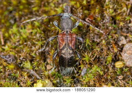 Longhorn beetle (Anaglyptus mysticus) from above. Distinctive British beetle in the family Cerambycidae on moss
