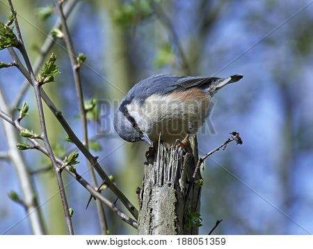 Eurasian nuthatch (Sitta europaea) looking for food in its habitat