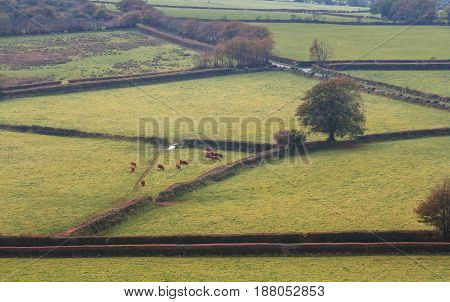 Landscape in the Dartmoor National Park. The red towns are grazing in pasture. Evening time. Haze. Autumn. View from Brentor. Devon. England