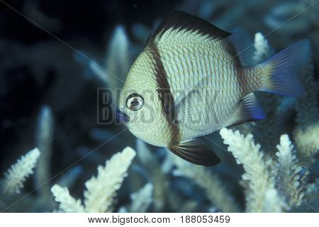 A Reticulated Damselfish, (Dascyllus reticulatus) swims near coral branches at the Kwajalein Atoll in the Pacific
