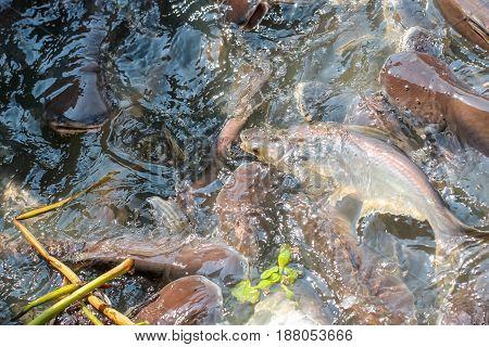 Crowd Of Catfish And Sawai In The Aqua Water, Feeding Food