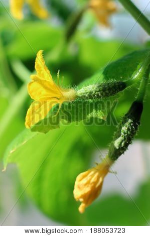 growing cucumbers, flowering cucumbers, two small cucumber