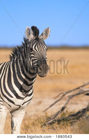 Portrait of a zebra - the shot was taken in the Etosha Park Namibia. poster