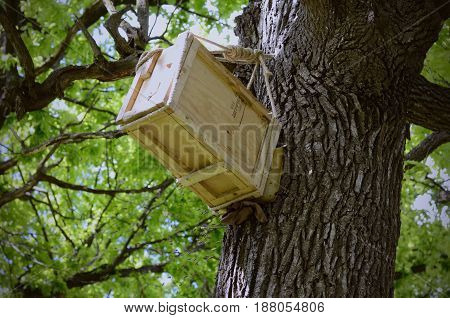 Man made wooden hive up on a old oak tree. Bees house