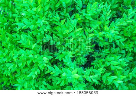 green bush in the garden for nature background