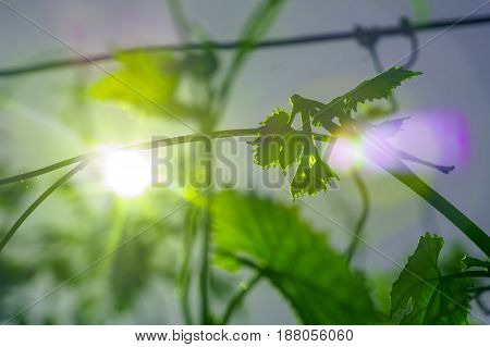 green leaf of young grapes with sun flare