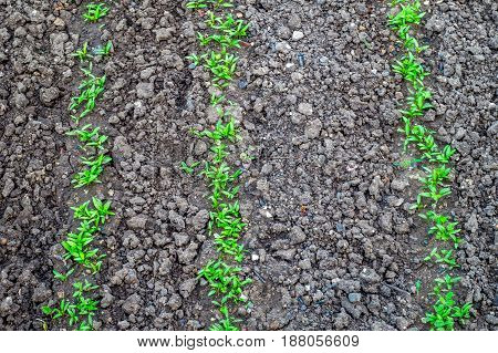 green seedlings sprouts in the garden on the ground
