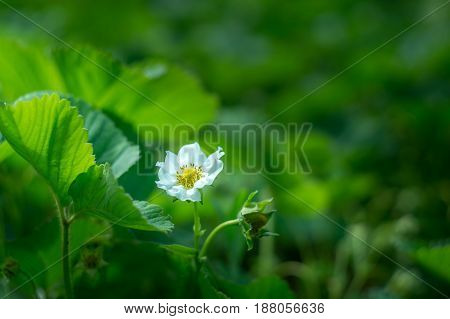 green leaf of strawberry with white flower for nature background