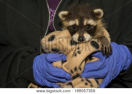 An orphaned baby Raccoon being held by an animal rehabber.