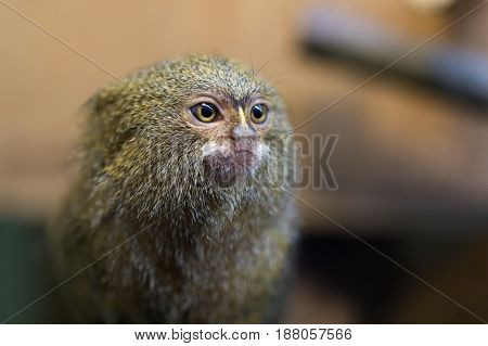 Pygmy marmoset or Cebuella pygmaea sitting on a branch