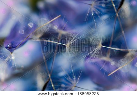 Abstract background, dandelion seeds macro background blur blue flower, selective focus