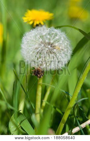 Spring landscape. Head full-blown dandelion seeds close-up