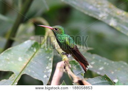 A colorful tropical hummingbird sitting on a branch