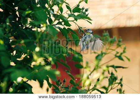 titmouse flying at green bush in summer country spreading wings. space for text