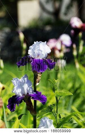 White-violet iris flower blooming on spring in the garden. Iris flower on a natural green grass background.Bearded iris. The sort of
